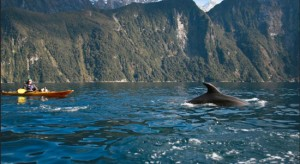 kayaking in Milford Sound with whales